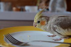 Cockatiel Ravi, 13 week old cinnamon male. Eating cheese from a plate, Ravi loves cheese! Valkparkiet
