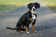 Entlebucher Mountain Dog Dog Breed Information Entlebucher Mountain Dog sitting on a paved path facing right, head turned forward Entlebucher Mountain Dog Dog Breed Information Mountain Dog Breeds, Swiss Mountain Dogs, Cute Animal Pictures, Dog Pictures, Entlebucher Mountain Dog, Akc Breeds, Dog Information, Purebred Dogs, Dog Owners