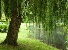 Un bord de rivière, pour se détendre à l'ombre d'un sol pleureur