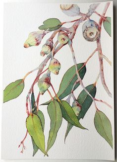 This A4 vertical print of the Silver Princess Eucalyptus (Eucalyptus caesia) branch is perfect for any nature lover. The reddish-brown branches and gumnuts of this Western Australian native are covered in white powder, making them appear silver. They contrast beautifully against deep and luscious colour of the gum leaves. —————Print Info————— The print is from original botanical watercolour painted by me, Zoya Makarova. The print is produced with Epson SureColor-P600 printer with… Watercolor Leaves, Watercolor Print, Watercolour Painting, Watercolours, Australian Art, Australian Native Flowers, Botanical Prints, Botanical Drawings, Reddish Brown