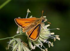 Butterflies of Europe - Thymelicus sylvestris - Small Skipper