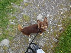 Chihuahua, Boston Terrier, Dogs, Animals, Boston Terriers, Animales, Animaux, Pet Dogs, Doggies