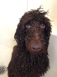 Never pleased with me at bath time. What a wet poodle!
