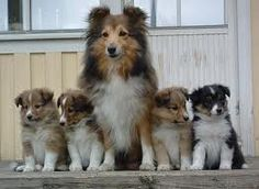 shetland sheepdog ~ VERY PRETTY FAMILY YOU HAVE THERE, MADAM ~