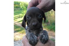 Meet Tinker Bell a cute German Shorthaired Pointer puppy for sale for $850. Liver Roan & Patched Female GSP Puppy