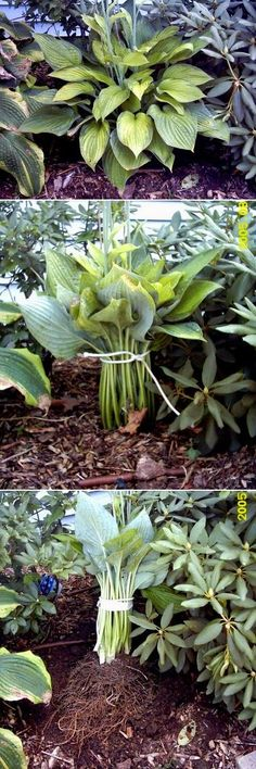 When to Transplant Hostas Before we discuss how to transplant hostas, we need to talk about when to transplant hostas and that involves both time of day and time of year. The best time to transplant h