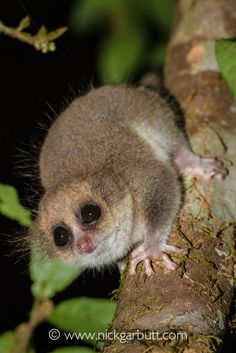 hairy eared dwarf lemur adult hairy eared dwarf lemur allocebus trichotis
