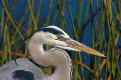 """Widespread and familiar (though often called """"crane""""), the largest heron in North America. Often seen standing silently along inland rivers or lakeshores, or flying high overhead, with slow wingbeats, its head hunched back onto its shoulders. Highly adaptable, it thrives around all kinds of waters from subtropical mangrove swamps to desert rivers to the coastline of southern Alaska. With its variable diet it is able to spend the winter farther north than most herons, even in areas w..."""