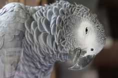 Parakeet Care, Parrot Image, Talking Parrots, Bird Barn, Barn Owls, Easy Pets, African Grey Parrot, Homemade Dog, Fun To Be One