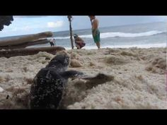 Christmas Island National Park -- Green sea turtle hatchling emerges