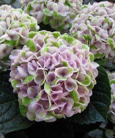Hydrangea macrophylla Magical 'Revolution' - Kerti Hortenzia Hydrangea Macrophylla, Diy Home Decor, Utca, Hydrangeas, Revolution, Flowers, Plants, Inspiration, Biblical Inspiration