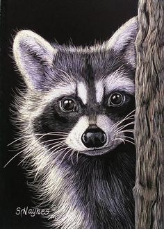 Animal Drawings Curious by Sandra Haynes Scratchboard ~ x Animal Paintings, Animal Drawings, Art Drawings, Animals Beautiful, Cute Animals, Majestic Animals, Raccoon Art, Raccoon Drawing, Black Paper Drawing