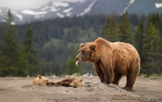 yosemite grizzly bear photos - Google Search