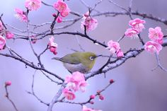 Japanese white-eye on Ume by Mubi.A
