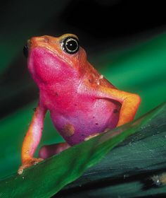 A harlequin frog (Atelopus flavescens) displays its bright warning colours in the rainforests of French  Guiana.