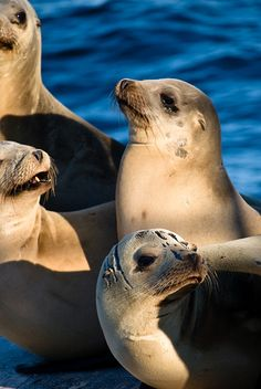 One of the many reasons I love Cali...  Sea Lions
