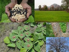 Medicinal Rice Formulations for Diabetes Complications, Heart and Kidney Diseases (TH Group-77 special) from Pankaj Oudhia's Medicinal Plant Database