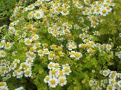 Tanecetum parthenium 'Aureum'- flowers