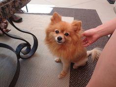 Pomeranian :)