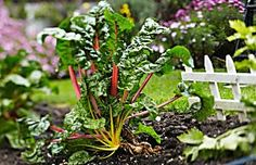 How To Grow Your Own Beautiful Swiss Chard