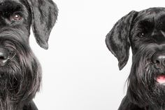 Giants by Square Dog Photography #Schnauzer