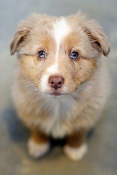 Brown and white Australian Shepherd Puppy.