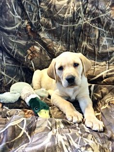 Yellow Lab duck dog ready to Hunt! #puppy