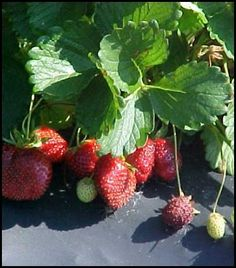 Growing Strawberries: How to Grow Strawberry Plants by Seeds or Runners