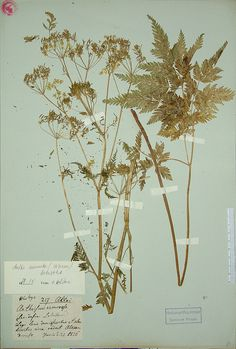 Botanical Specimens -Real, pressed specimens, not illustrations -Beautiful -Not too neat