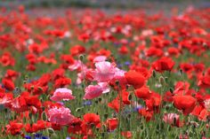 poppies photos | Download Original poppies, field, summer, nature Wallpaper ...