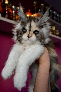 Want to see more Maine Coon Photos? Click the photo for more! Want to see more Maine Coon Photos? Click the photo for more! Cute Cats And Kittens, I Love Cats, Crazy Cats, Cool Cats, Kittens Cutest, Pretty Cats, Beautiful Cats, Animals Beautiful, Cute Baby Animals