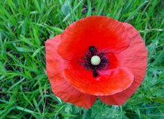 pictures of poppies | Pecozbill: The History of the Red Poppy on Memorial Day