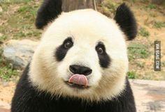 I got something on my nose? 🐼🐼🐼🐼🐼🐼🐼🐼🐼🐼🐼🐼🐼🐼🐼 💝 We be more like a panda, that's what we do! 🐼 Only cute, fun and adorable panda things here! Cutest Animals On Earth, Animals Of The World, Cute Baby Animals, Animals And Pets, Panda Facts, Water Deer, Panda Lindo, Amor Animal, Cute Panda