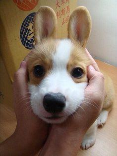 Corgi with bunny ears! pic.twitter.com/AQ15S7JmVG