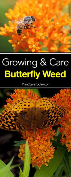 Butterfly Weed Care: How To Grow Asclepias Plant
