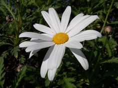 daisy-ox-eye-simplicity-flower.jpg (1600×1200)