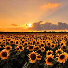Sunflower Sunset||Photography by © Andreas Jones ----------------------------------------------------------------- #sunflowers #sunflower #sunset #sunsetlover