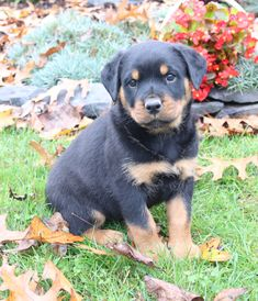 🐾Say Hello👋 to this gorgeous, playful #Rottweiler puppy🐶 named Rosie! She will make an #awesomeplaymate and companion for the whole family. They are #merrycompanions and are very intelligent. #Charming #PinterestPuppies #PuppiesOfPinterest #Puppy #Puppies #Pups #Pup #Funloving #Sweet #PuppyLove #Cute #Cuddly #Adorable #ForTheLoveOfADog #MansBestFriend #Animals #Dog #Pet #Pets #ChildrenFriendly #PuppyandChildren #ChildandPuppy #LancasterPuppies www.LancasterPuppies.com