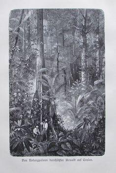 1898 ROTANGPALMEN URWALD CEYLON alter Druck antique Print Lithographie Palmen