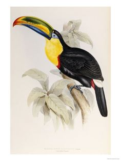 A Monograph of the Ramphastidae or Family of Toucans, 1834 Posters van John Gould bij AllPosters.nl