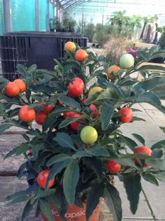 Solanum pseudo capsicum -An Evergreen Perennial which has white flowers in the summer & amazing berries in the winter