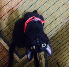 Ankara ev kedi otei