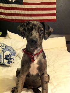Catahoula Leopard Dog. We have a one year old black and tan female named Bristol. We love her!