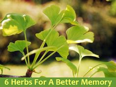 Discover which herbs can improve your memory