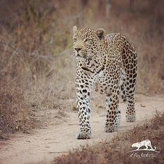 Mr Tingana, walking with purpose!  #leopard #photosafari #photography #africa #atclosequarters #spots #wildlifephot… 10-2015