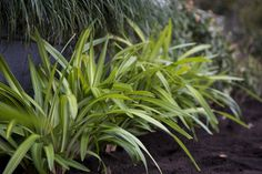 Dianella 'Lime Splice' • Planting en masse - 30cm apart • Growing in containers • Softening the edge of driveways and other hard surfaces • Both native and non native gardens • Coastal locations Mixed Border, Manor Garden, Native Gardens, Border Plants, Driveways, Planting, Landscaping, Coastal, Lime
