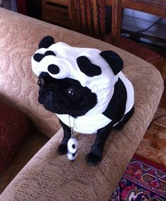 Gertie the Panda pug. Now isn't that just fucking adorable?