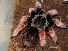 The Brachypelma klaasi (also called Mexican Pink) is a tarantula endemic to Mexico and can be found in North and Central America. Scorpion, Pet Tarantula, Pet Spider, Itsy Bitsy Spider, Jumping Spider, Beautiful Bugs, All Gods Creatures, Reptiles And Amphibians, Weird And Wonderful