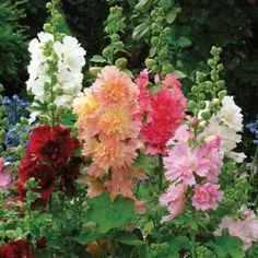 Stokroos - Alcea Rosea Queeny. Mooie laagblijvende stokroos met prachtige gefranjerde bloemen