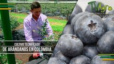 Cultivo Tecnificado de Arándanos En Colombia - TvAgro por Juan Gonzalo A...